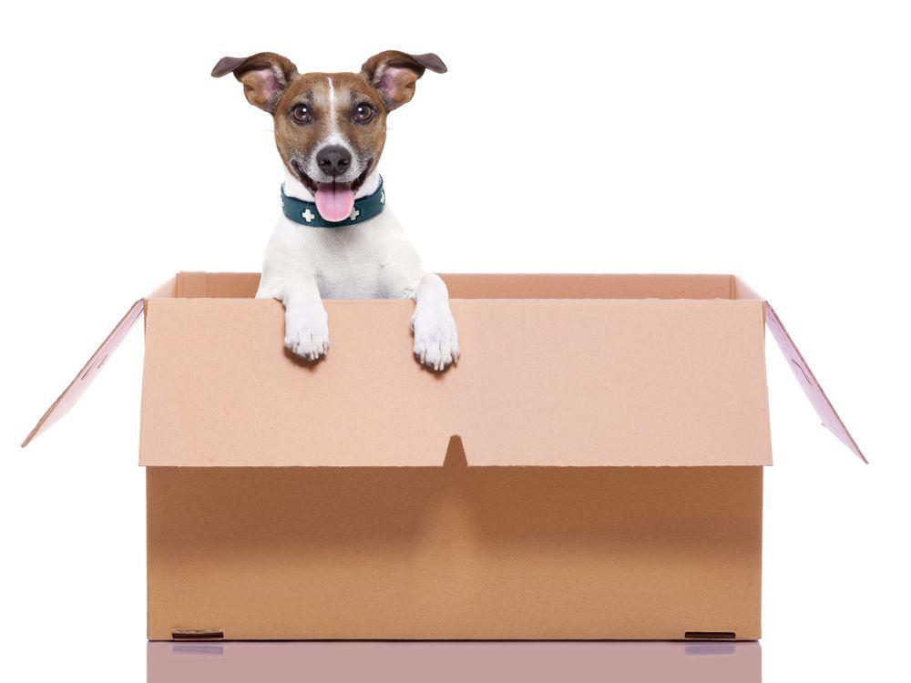 Chien heureux, la langue pendue, dans une boîte de déménagement