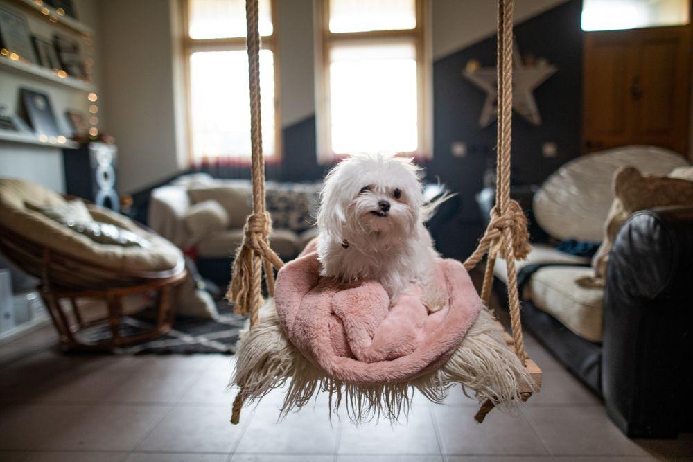 Petit chien sur une balançoire intérieure