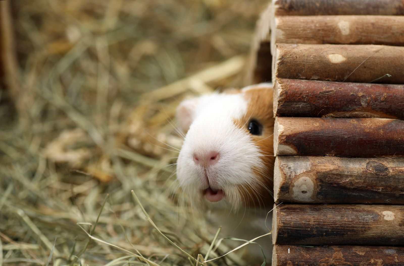 cochon d'inde sort de sa cachette