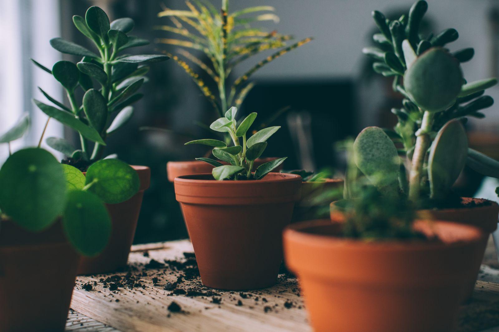 plantes d'intérieur succulentes