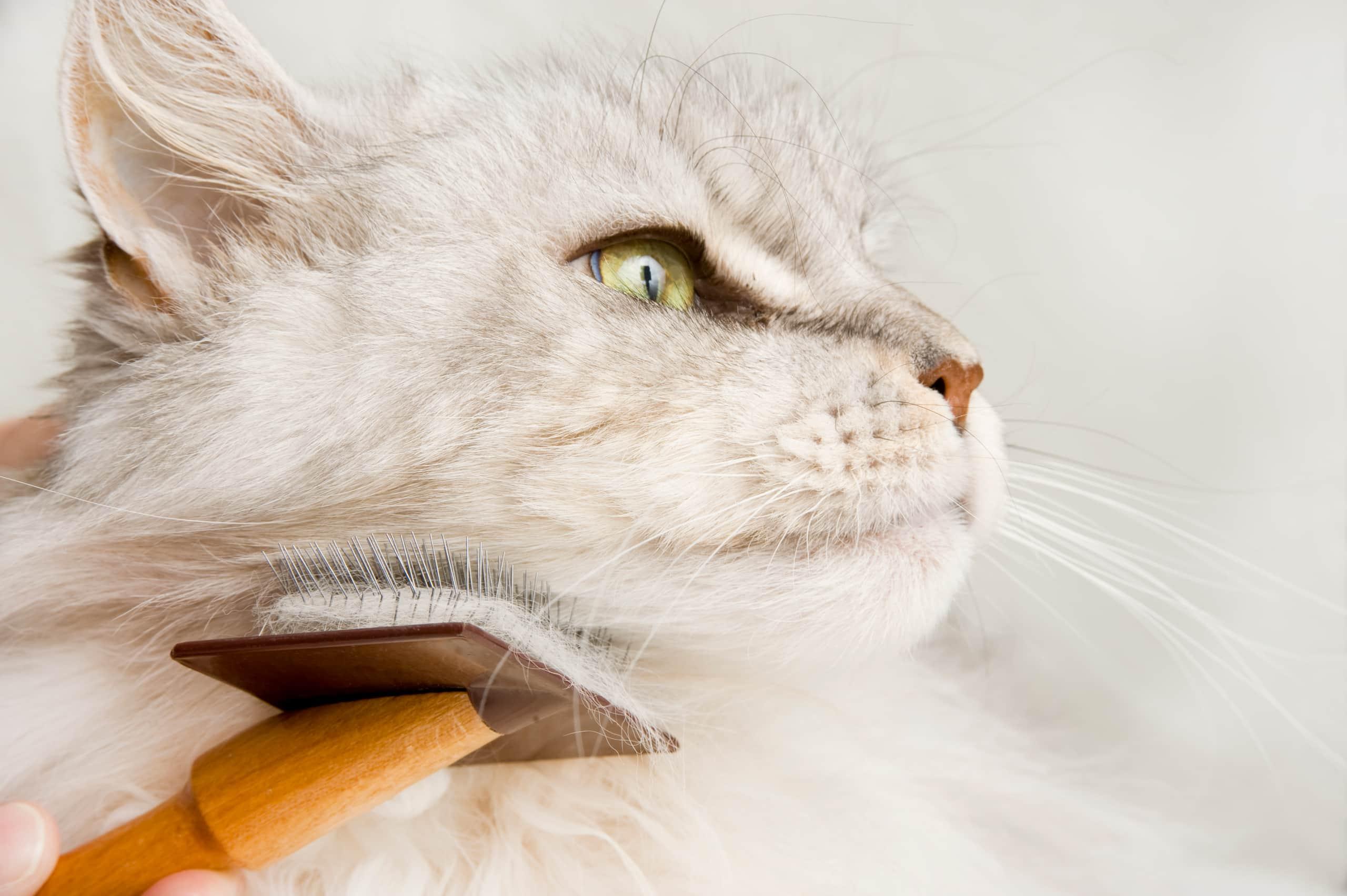 Chat blanc à poil long qui se fait brosser